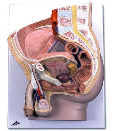 女含男性生殖器官�_男性骨盆模型